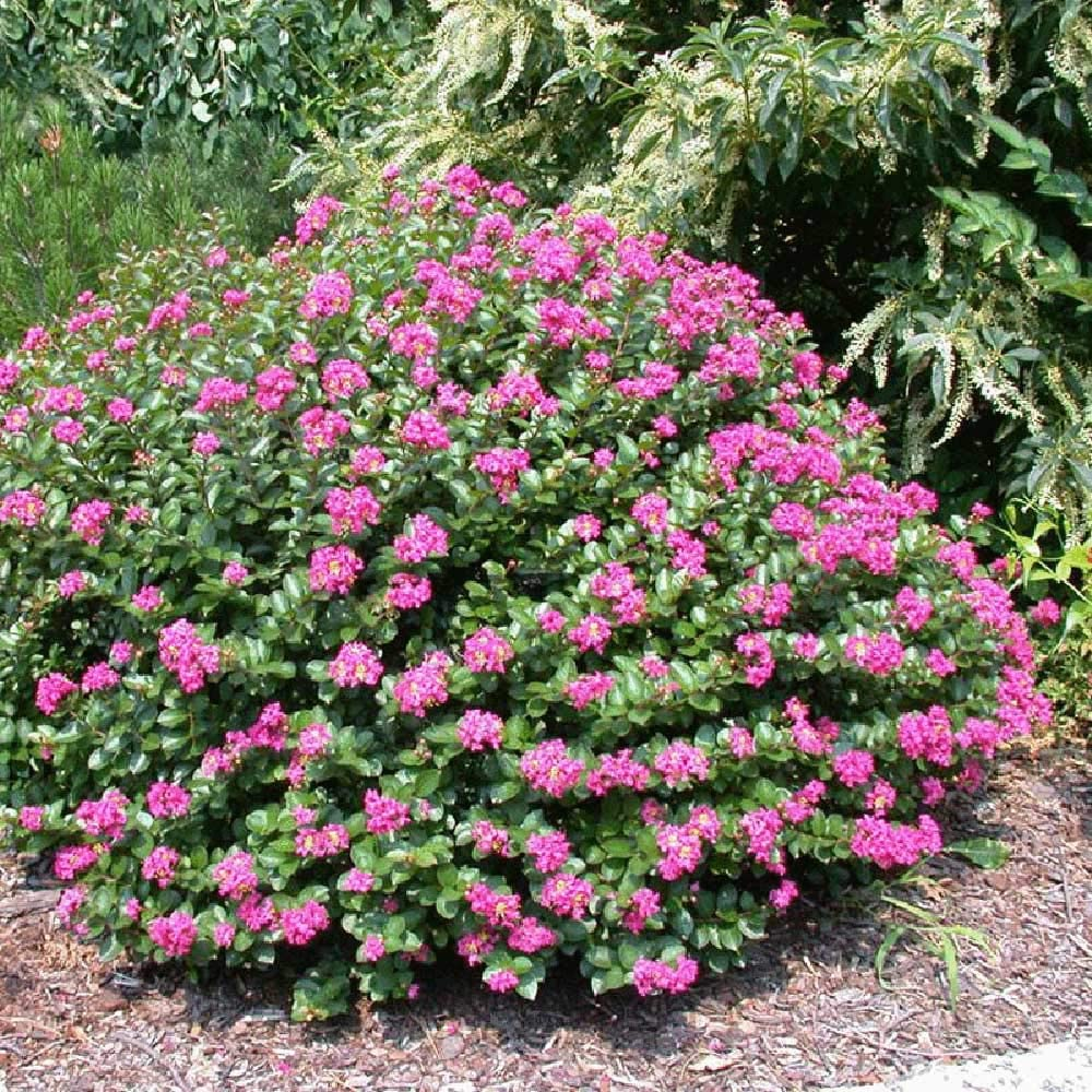 dwarf crepe myrtle with pinkish purple flowers