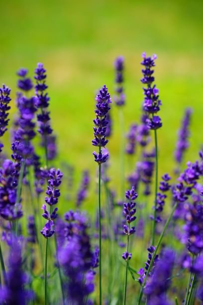 purple lavender plant with green background