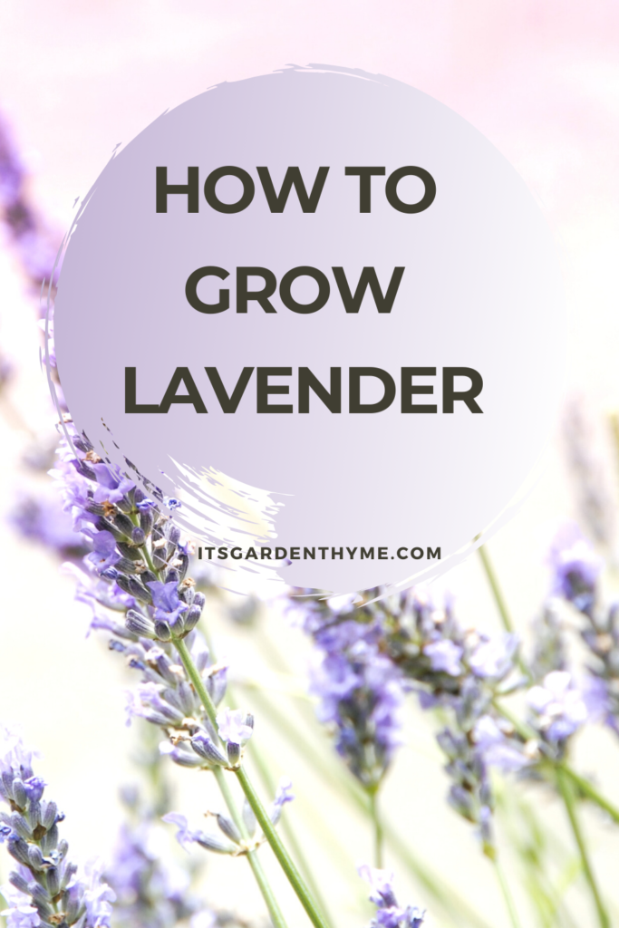 how to grow lavender image