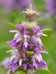 bee balm, or horsemint, for mosquito repellant