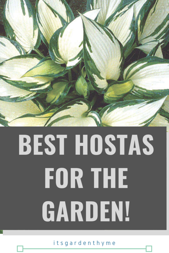 All About Hostas And Their Varieties