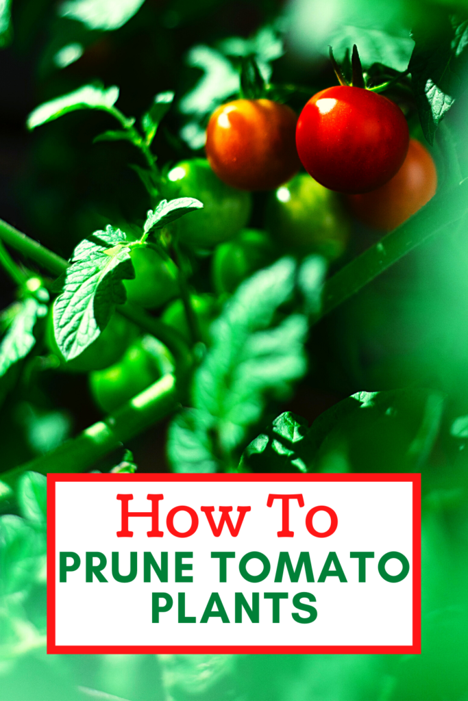 ripe tomatoes growing on a plant