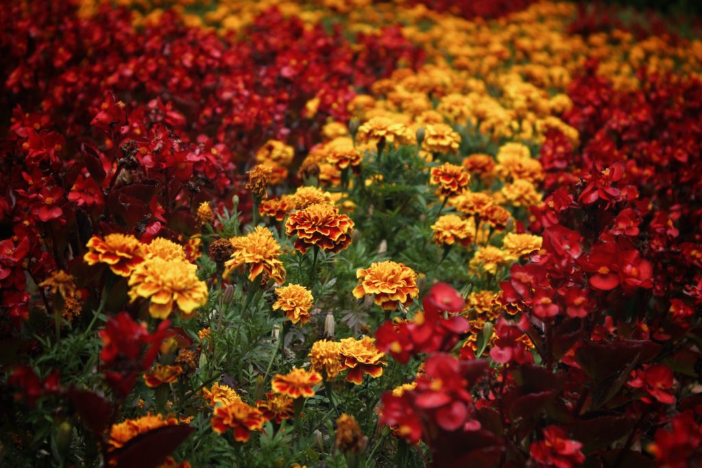 beautiful deep red and variegated marigold flowers