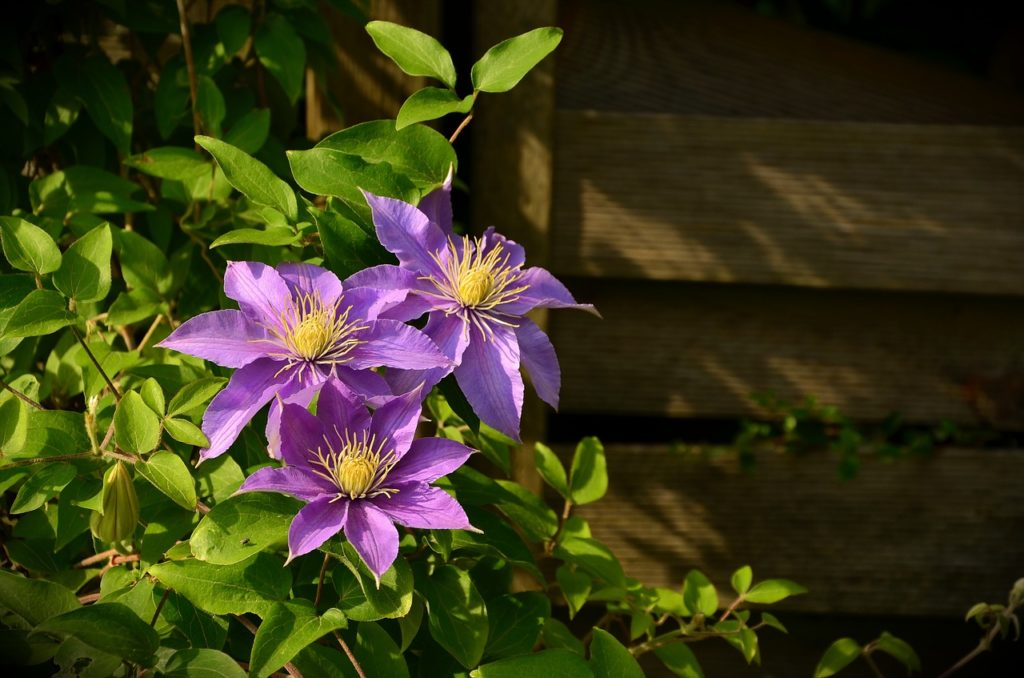 a purple Clematis VIne surrounded by green leaves