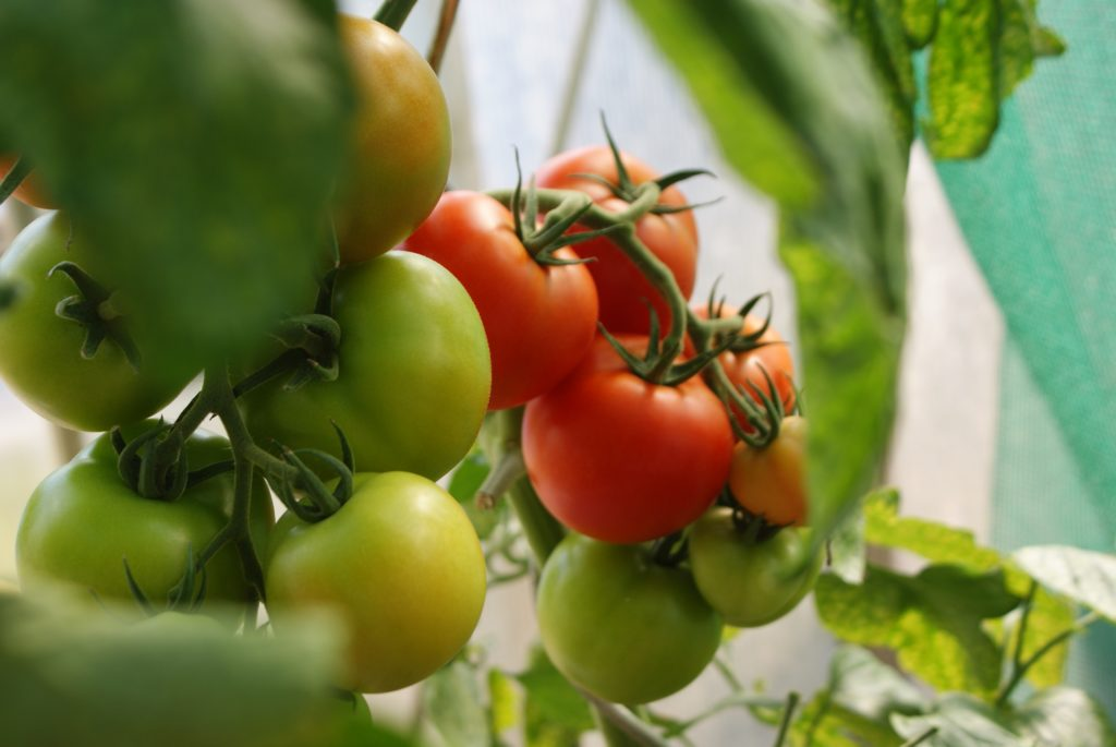 a mix of ripe and unripe tomatoes growing on a plant