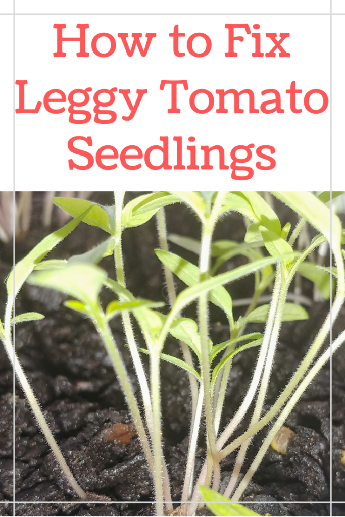 Having trouble growing your tomatoes from seeds? Here are the 3 biggest issues for leggy and spindly tomato plants and exactly how to fix them!
