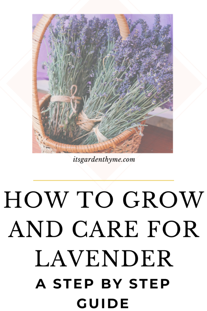how to grow and care for purple and pink lavender