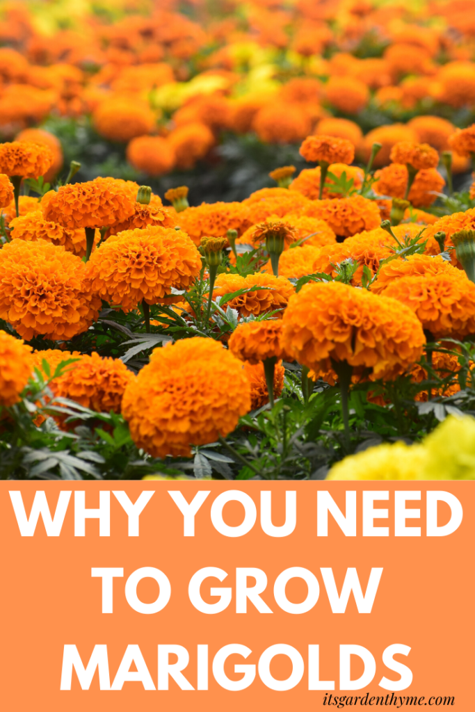 Information and tips on how to grow marigolds and benefit from their amazing qualities.