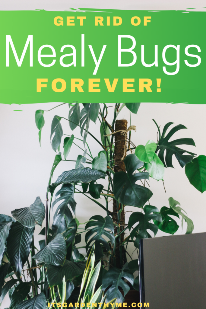 How To Get Rid of Mealy bugs forever