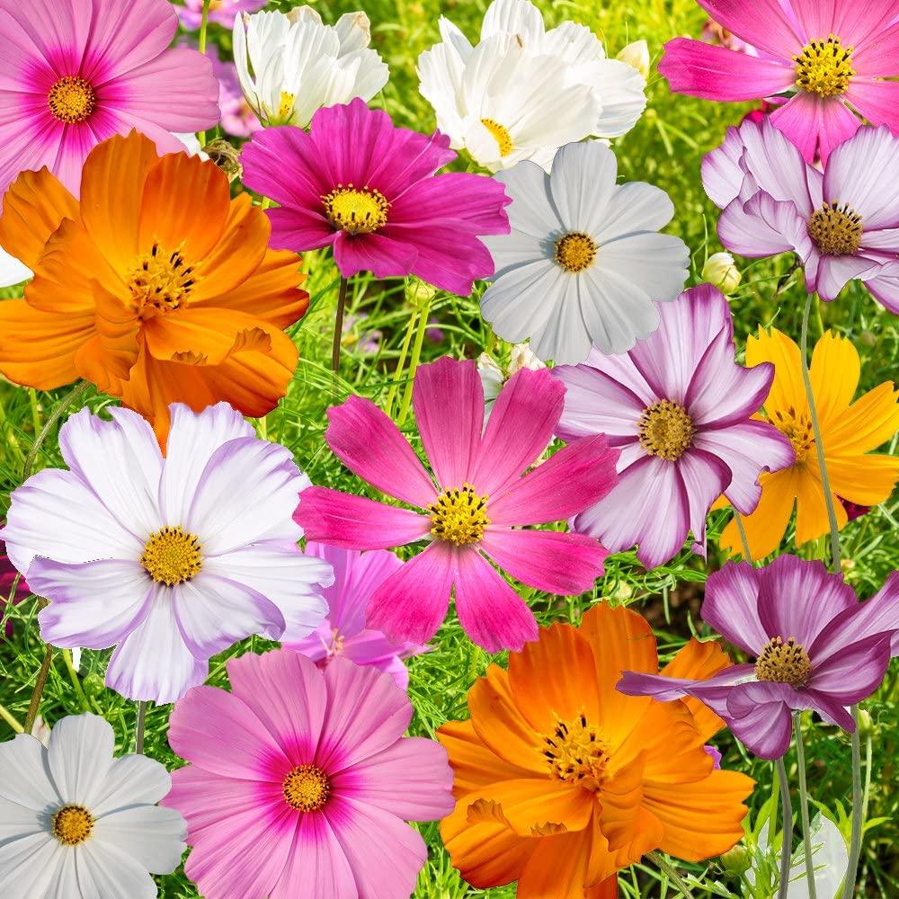 Summer Flower Cosmo flower seeds