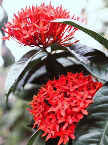 penta - full sun summer flower