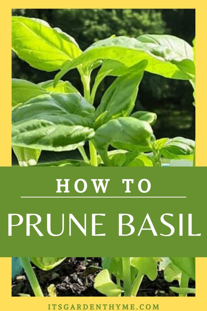 how to prune basil poster